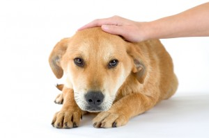 The 'Head Shy' Myth In Dogs