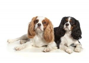 Cavaliers Steve and Garry Photo by Zoo Studio - Animal Art Photography