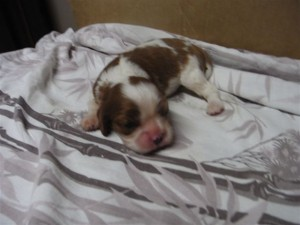 Our puppy Trevor as a newborn